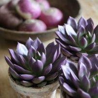 suculentas violetas